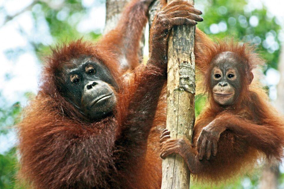 Orang-Utan im Tanjung Puting Nationalpark