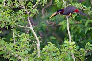 Braunohrarassari; Tukanart im Pantanal