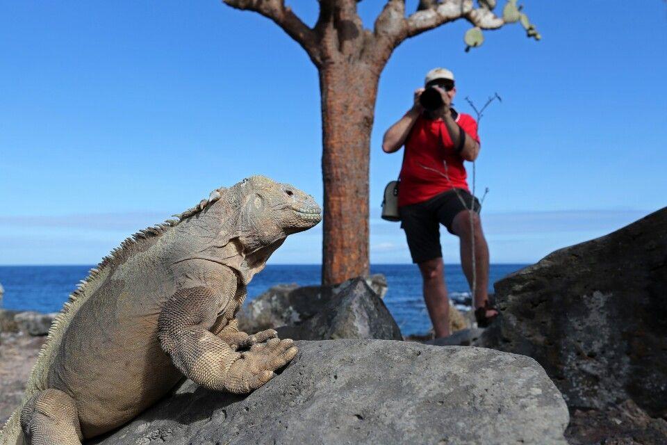 Galapagos-Echse vor der Linse