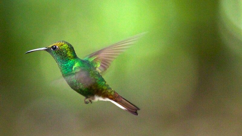 Grüner Kolibri © Diamir