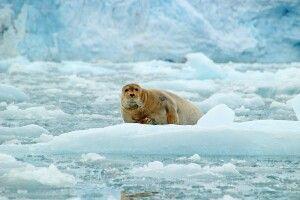 Bartrobbe auf einer Eisscholle