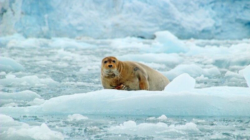 Bartrobbe auf einer Eisscholle © Diamir